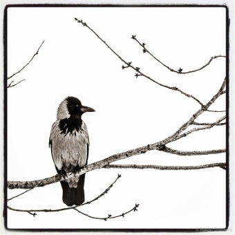 Crow on a branch