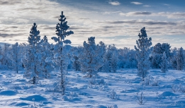 Winter evening mountain pines